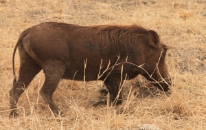 Warthogs graze by walking on their knees