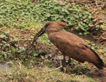 Bower bird eating a frog